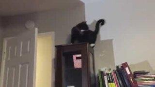 Morsom katt elsker å jage halen sin