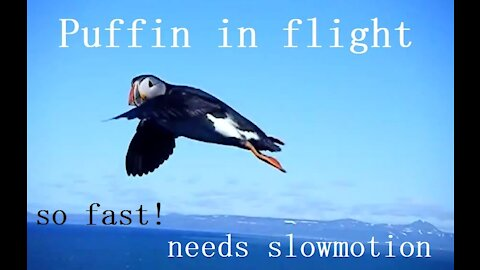 Puffin in flight looking at the camera in Iceland