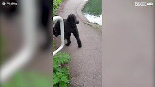 Cão distraído cai dentro de lago