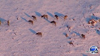 Elk herd enjoying breakfast Friday morning