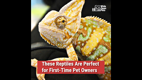 These Reptiles Are Perfect for First-Time Pet Owners