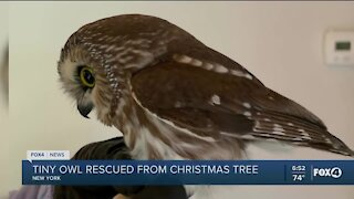 Owl rescued from Rockefeller Center tree