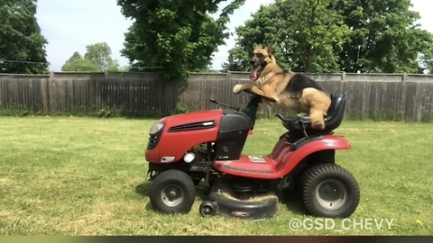 Super cool German Shepherd helps mow the lawn