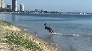 Wild Kangaroo Caught Going For Swim In The Ocean