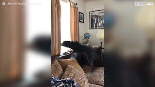 Cão fica extremamente feliz quando recebe visitas