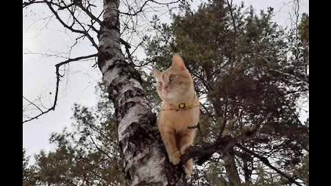 Red cat on a birch tree in the forest