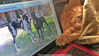 Great Dane bewildered by cat chilling on computer