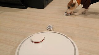 Thoughtful Jack Russell helps out robot vacuum