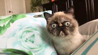 Florida feline could be next 'Grumpy Cat'