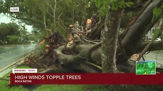 Storm uproots large ficus tree in Boca Raton