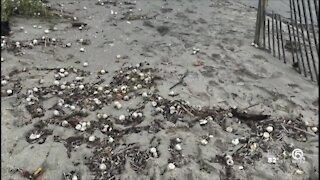 High tides threatening sea turtle nests