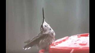 Se hvordan denne kolibrien elsker sommerregnet