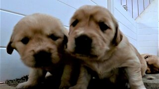 Puppies play and fight in order to resist nap time