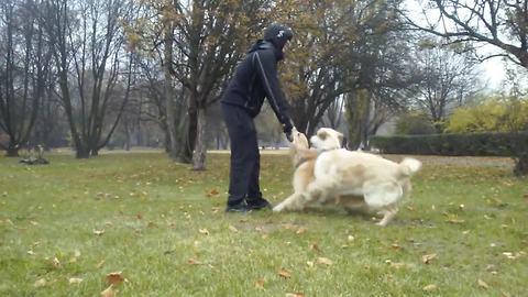 Stubborn Golden Retriever refuses to let go of stick