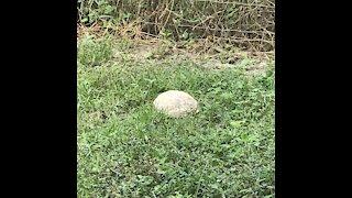 Gopher Tortoise Looks Like a Rock!