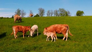 Loving Mother Cow Shows Protective Nature for Her Newborn Calf