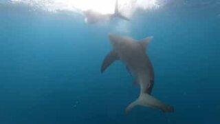 Diver films deadly shark attack!