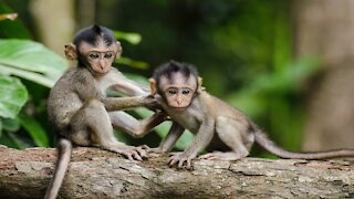 Watch a small monkey start to learn to walk