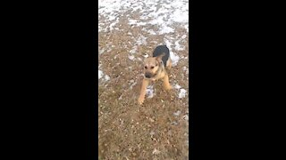 Puppy trying to catch a rope