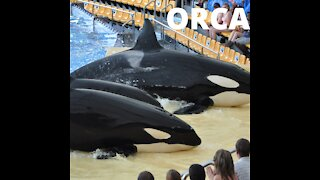Wild Orca Killer Whales Swimming