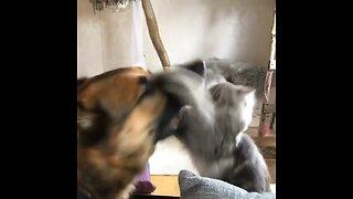Cat fights German Shepherd in the sweetest way