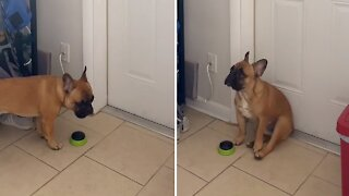 Frustrated bulldog desperately wants to go outside