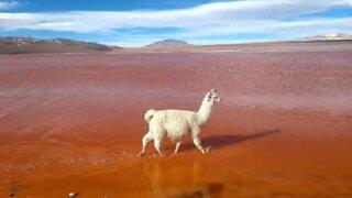 Llama struts down lake like catwalk model