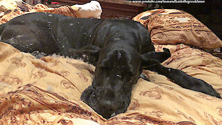 Innocent Black Great Dane Is Covered In White Duvet Feathers