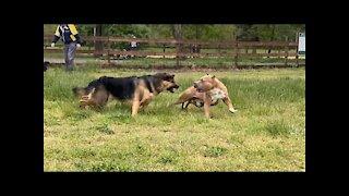 German Shepard attacks pitbull(park)