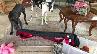Great Danes Have Fun Emptying Out Their Toy Box