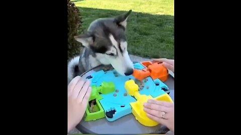 Husky lost