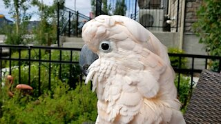 Vocally talented cockatoo entertains neighbors with a patio concert