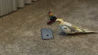 Angry cockatiel gets revenge on iPhone