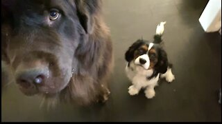 Newfie and Cavalier do circles for Christmas treats