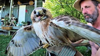 Farmer rescues red-tailed hawk with broken wing