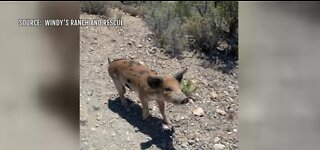 Pig rescued at Red Rock Canyon