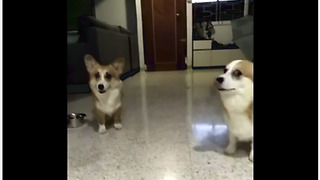 Corgis confronted with crime, but which one is guilty?