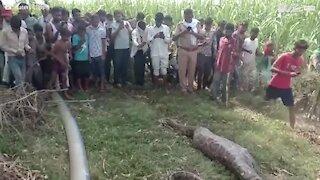 Giant snake is captured after eating a deer