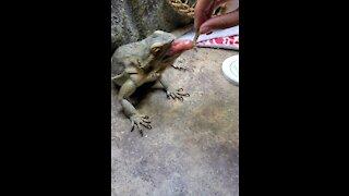 Hand feeding adorable bearded dragon