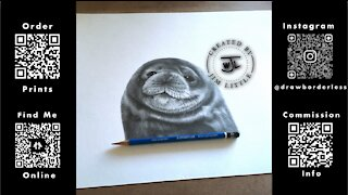 Seal pencil drawing time lapse
