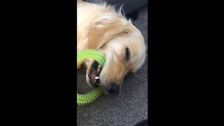 Golden Retriever falls asleep with toy in mouth