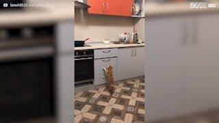 Gato escala gavetas para chegar a comida!
