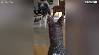 Questo Husky non apprezza gli addobbi di Natale