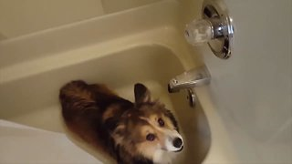 Corgi LOVES the Shower!