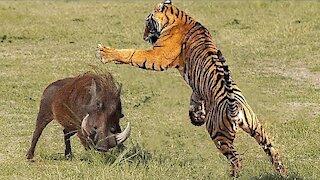 WHAT HAPPENS WHEN TIGER ATTACKS WILD BOAR