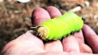 Gigantic green caterpillar is allowed to crawl on man's arm