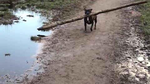Determined dog carries gigantic log during forest walk