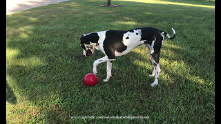 Happy Great Dane Plays Soccer With His Jolly Ball