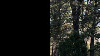 Massive oak removal part one