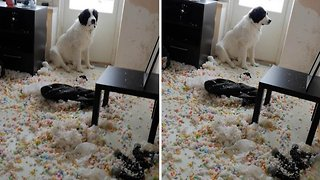 Dog looks guilty after destroying pillows